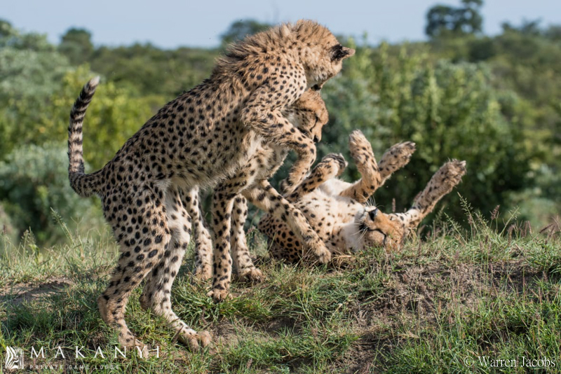 Amazing cheetah sightings